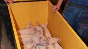 Flytning af grise er vores største virus-problem