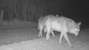 'Her er ulven i Danmark': Yngleforsøg kan være mislykket