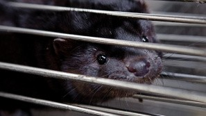 Minkavlere kan beholde raskmeldte mink