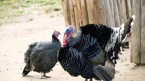 Kalkunbesætning ramt af fugleinfluenza: 4000 aflivet