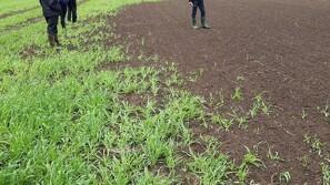 Planteavlsrådgiver: Anbefaler at forebygge stankelbenslarver fremfor at bekæmpe dem