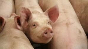 Australiere på svinekongres
