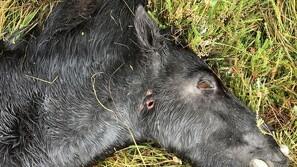 Ulv dræbte naturpleje-heste