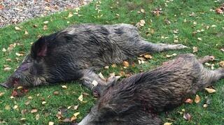 Antallet af svinepest stiger fortsat i Tyskland