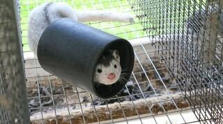 Flere dyrlæger viser symptomer på kulilteforgiftning efter minkaflivninger