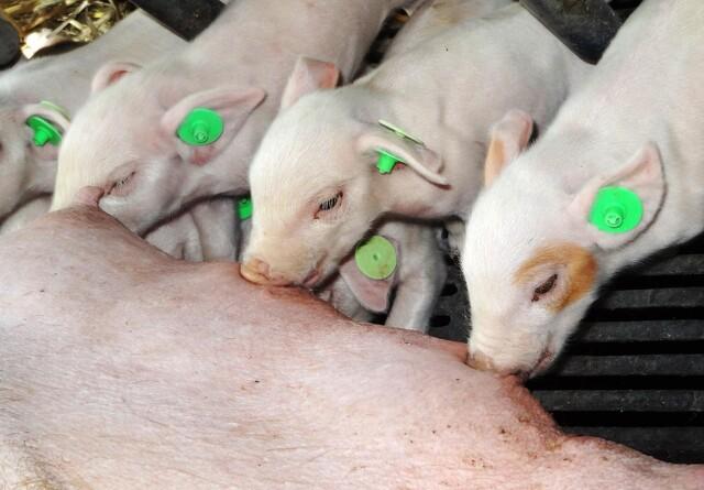Olier, urter og krydderier giver antibiotikafri grise