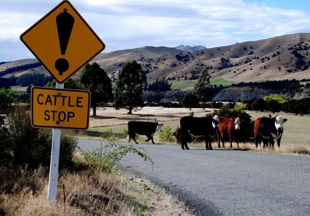 New Zealand har indtil videre nedslagtet 45.000 køer