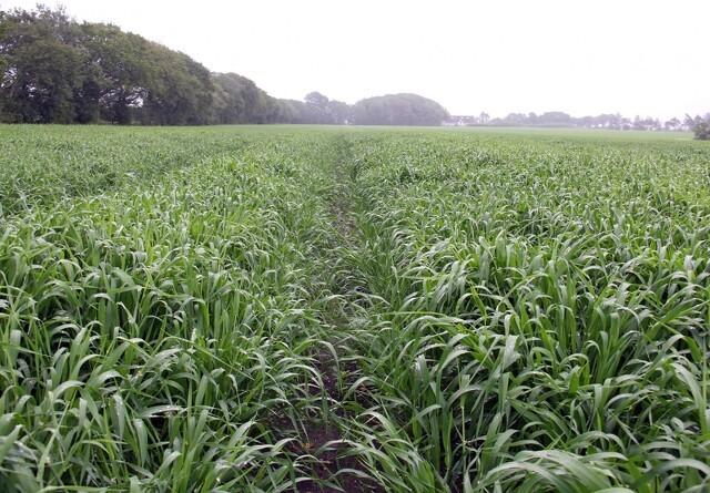 Ingen herbicidsprøjtning i maltbyggen