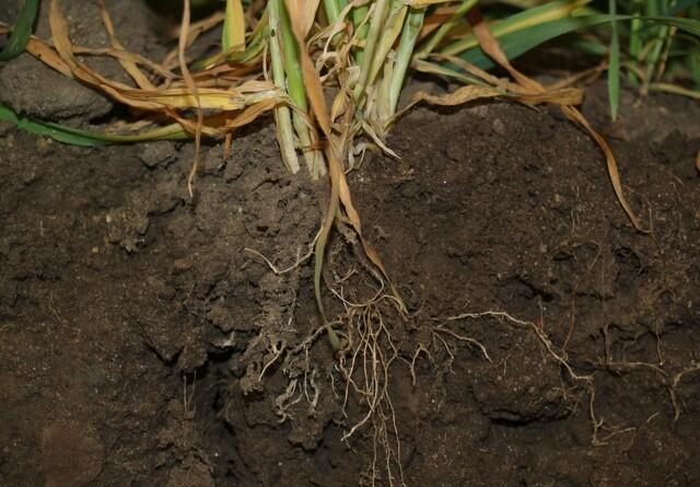 Plante-gen afslører røddernes vækst