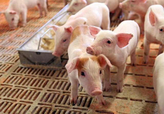 Kan simpelt fodertilskud stoppeMRSA?
