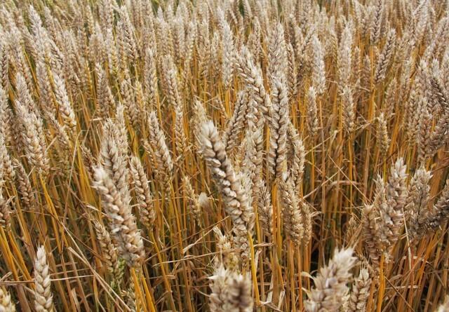 Hjælp kornet godt fra start i foråret
