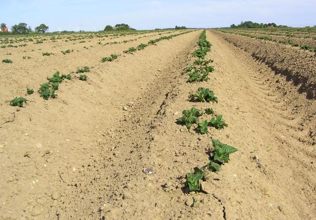 Jordmidler eller ej mod ukrudtet i kartoflerne