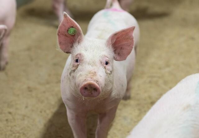 Svineproduktion i Finland har fokus på hjemmemarkedet