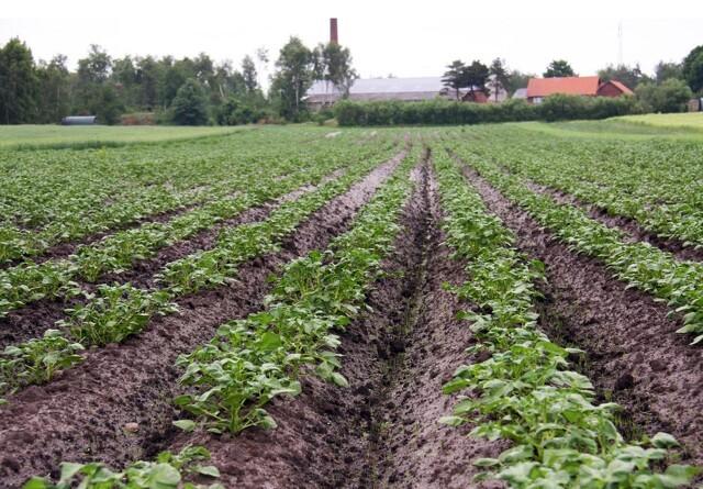 Vand, næring og skimmelbehandling sikrer god kartoffelsommer