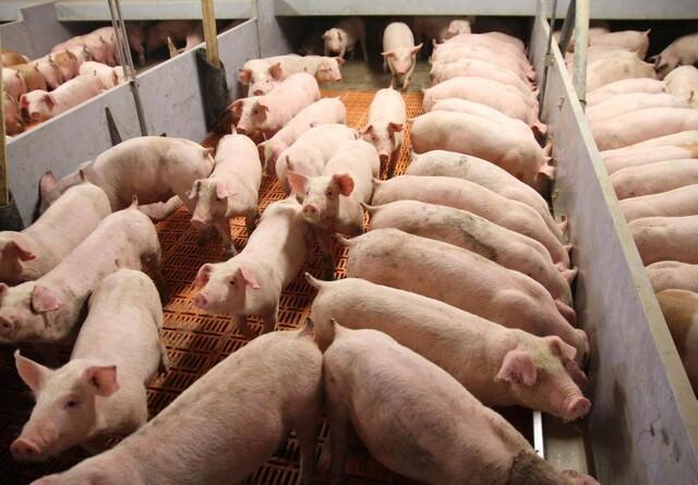 Danske landmænd vil sikre ansvarligt soja til svinene
