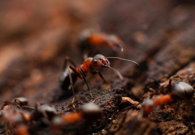 Myre-feromoner mindsker sprøjtning med insekticider