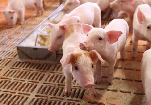 Ny vaccine skal gøre medicinsk zink overflødigt og sænke antibiotikaforbrug