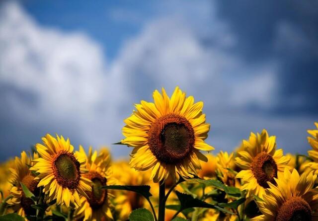Kan solsikker blive et supplement til økologisk vinterraps?