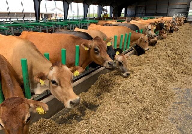 Lyset har stor betydning for malkekvæg