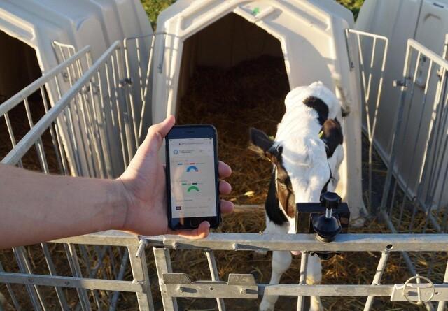 Nyt system overvåger kalvens sundhed