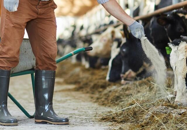 Raskere køer med forsurende foder