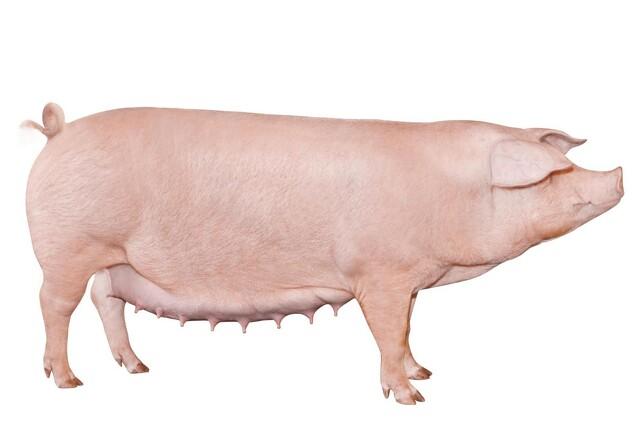 Kan man avle sig til bedre dyrevelfærd?