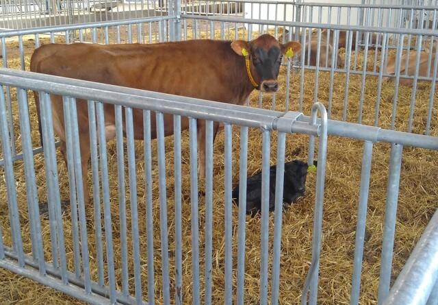 Årsager til abort hos kvæg