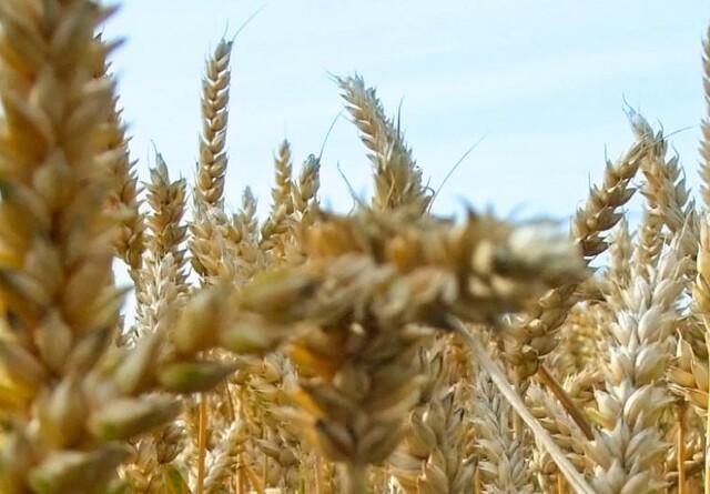 Udviklingstendens i kornets proteinindhold