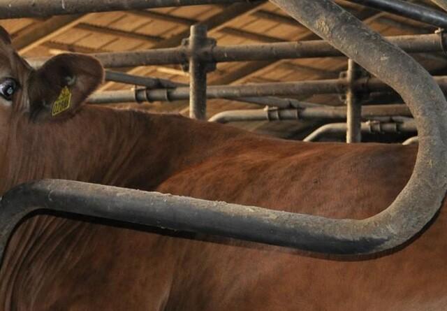 Bløde senge giver sunde køer