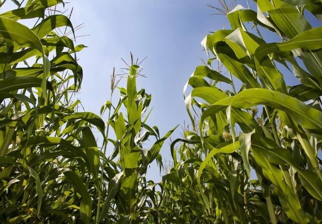 Mikronæring til majs