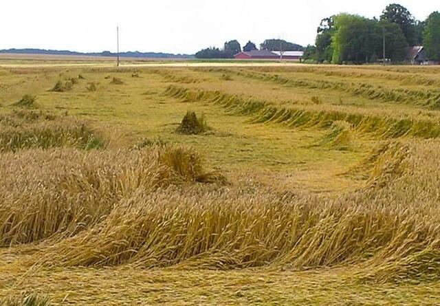 Mindsk risikoen for lejesæd i korn