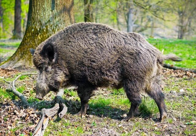 Afrikansk svinepest i Danmark kan blive dyrt