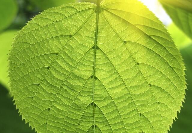 Fotosyntesen kan optimeres