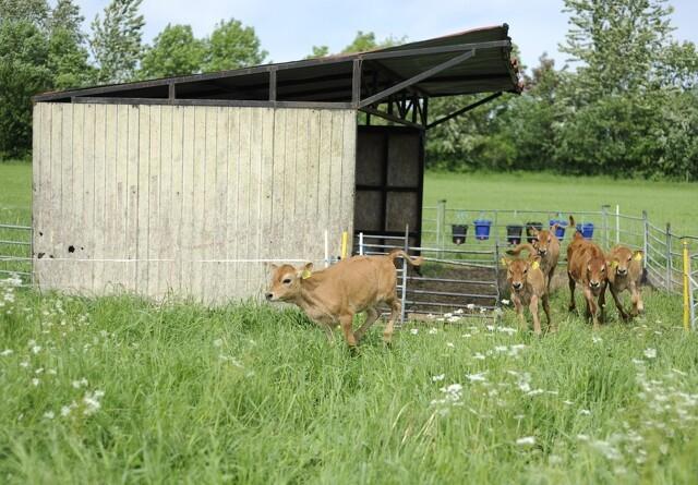 Holistisk afgræsning er også for kalvene
