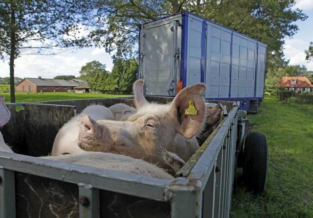 Regler ved transport af grise