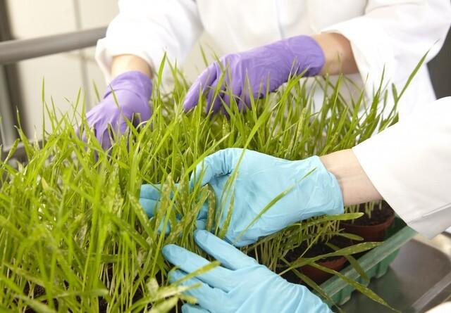 Gen kan blive planters selvforsvar mod svampesygdomme