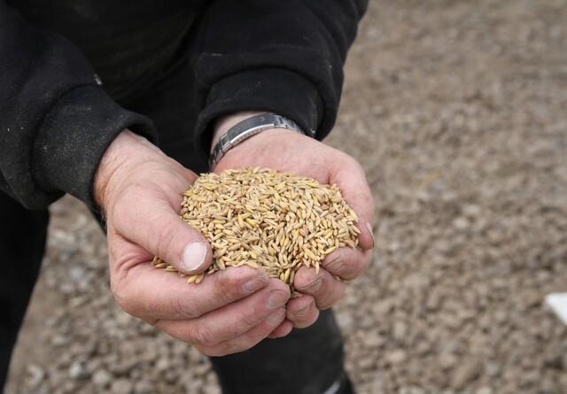 Afskallet havre giver mulighed for en enkel foderplan