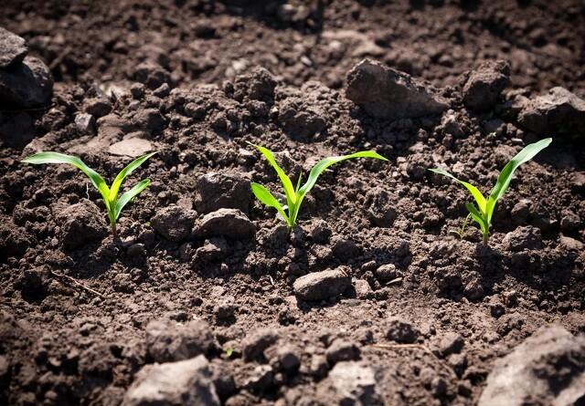 Vårafgrøder nyder godt af nitrifikationshæmmer i gyllen