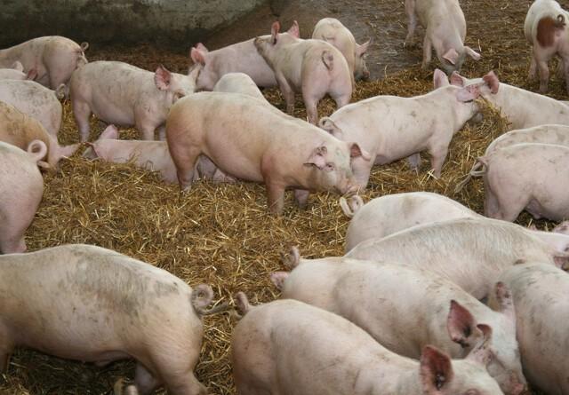 Forskere har fået styr på svinelugten