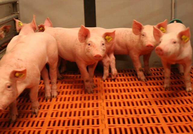 Overgård Gods skal producere 200.000 grise årligt