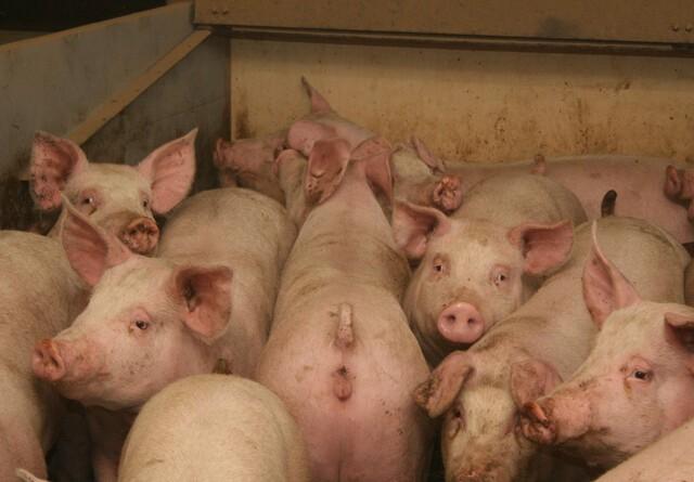 LMO: Store svinebedrifter skal fokusere på ledelse