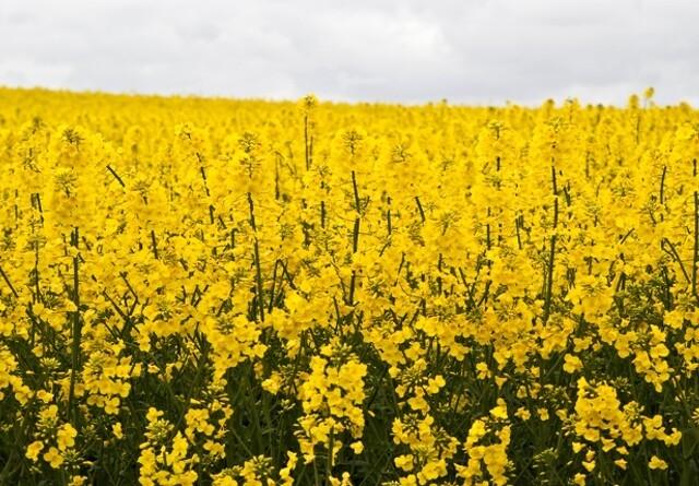 DF: Ingen GMO-raps i Danmark