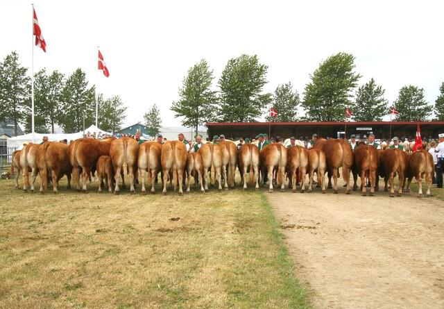 Den største kødraceforening fylder 40 år