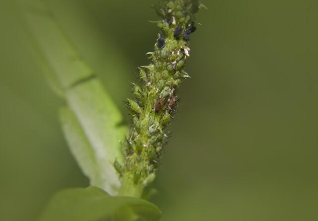 Vold til vildtpleje kan tynde ud i bladlus
