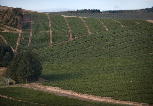 Juletræsfirma opkøber flere plantager