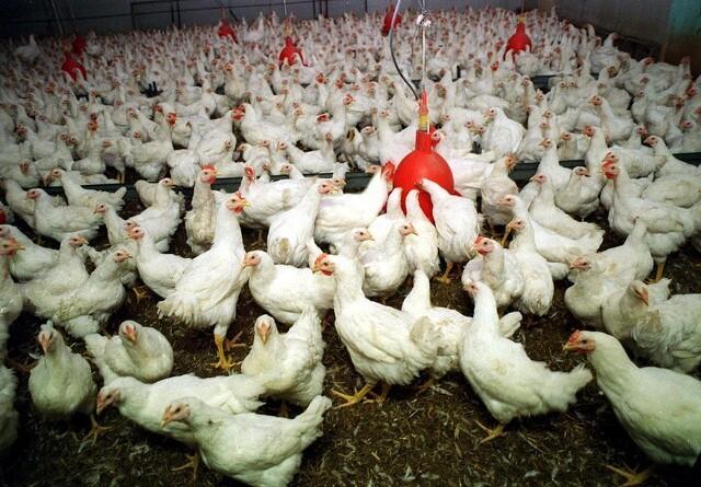 Til kamp for bedre kyllingefødder