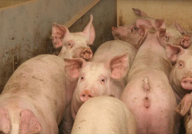 Aflever svinene før uge 51