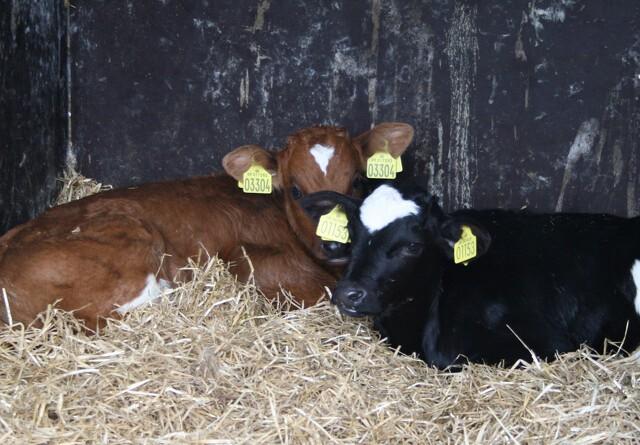 Afkoblet præmie sænker kvægbestanden
