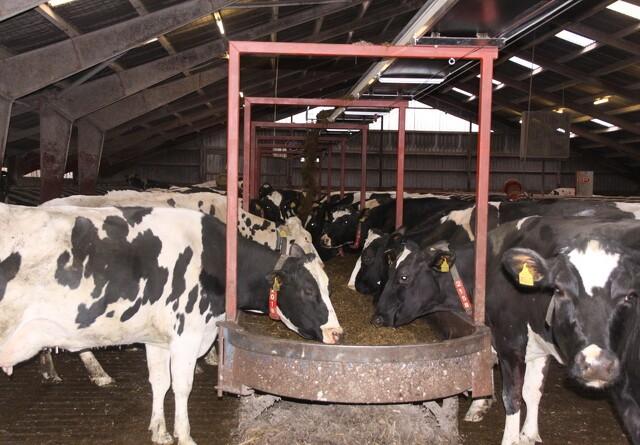 Båndfodring skaber aktivitet i stalden