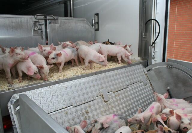 EL: Noget svineri at køre grisene til Tyskland